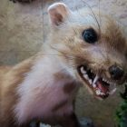 Rabies still present a danger to animals and humans