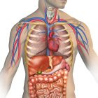 Doctors may have discovered a new human organ